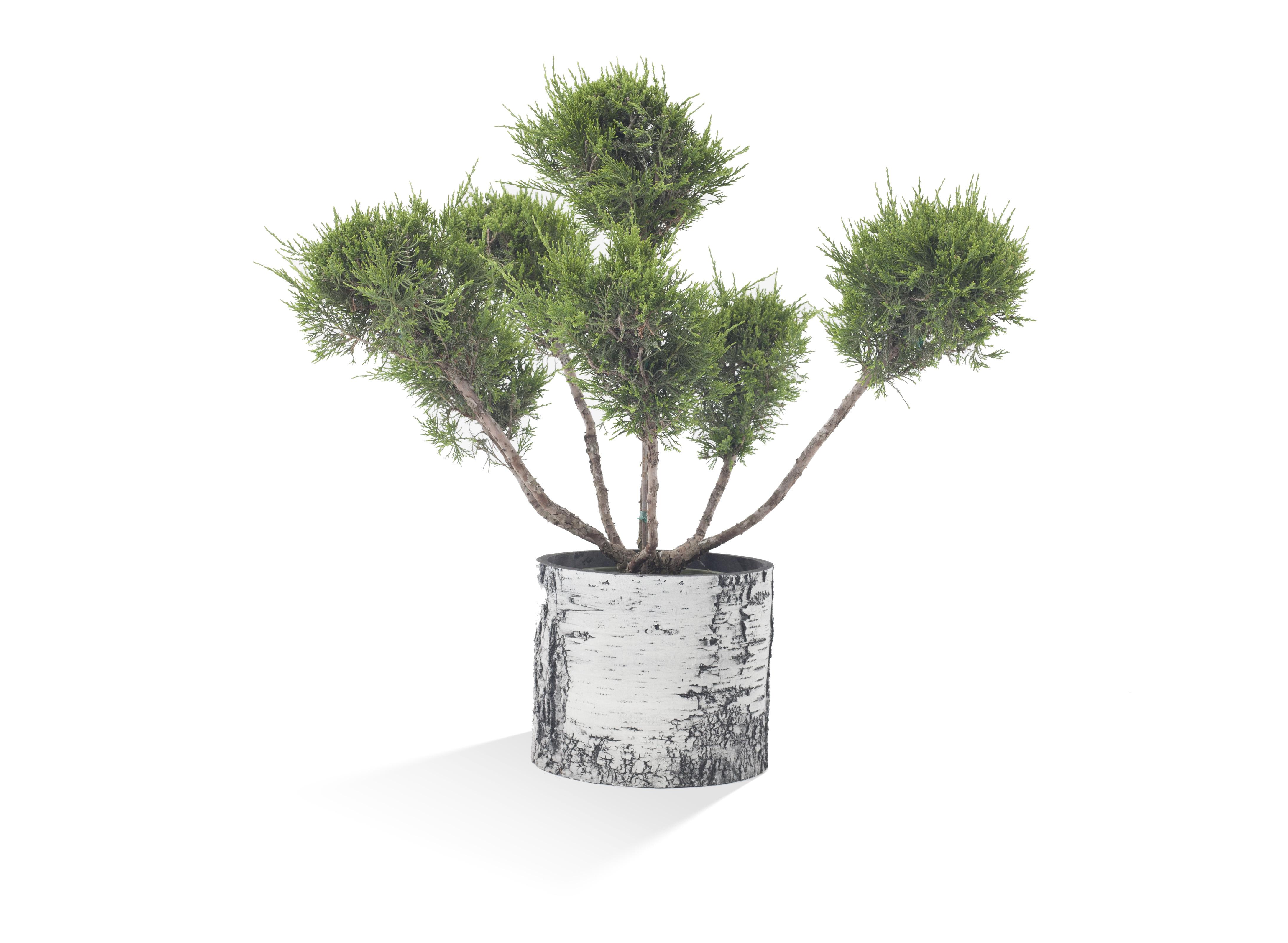"surreal 13"" vertical birch planter - filled"